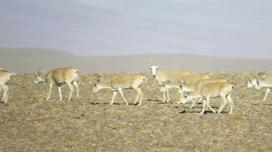Монгол бөхөнгийн тархацын 70-80 хувь нь Говь-Алтай аймагт байдаг