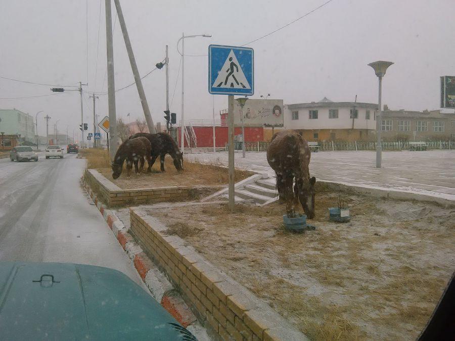 Мал, тэжээвэр амьтныг хотын төвд байлгахыг хориглов